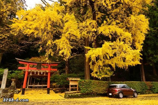 巨大なイチョウと黄色い絨毯に包まれたMINIクロスオーバー