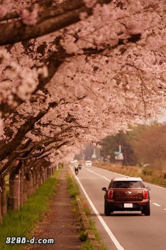 MINIクロスオーバーで桜並木ドライブ
