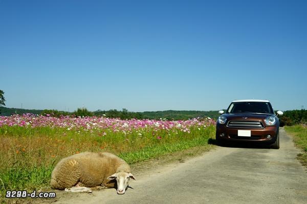 満開のコスモス畑と羊の昼寝